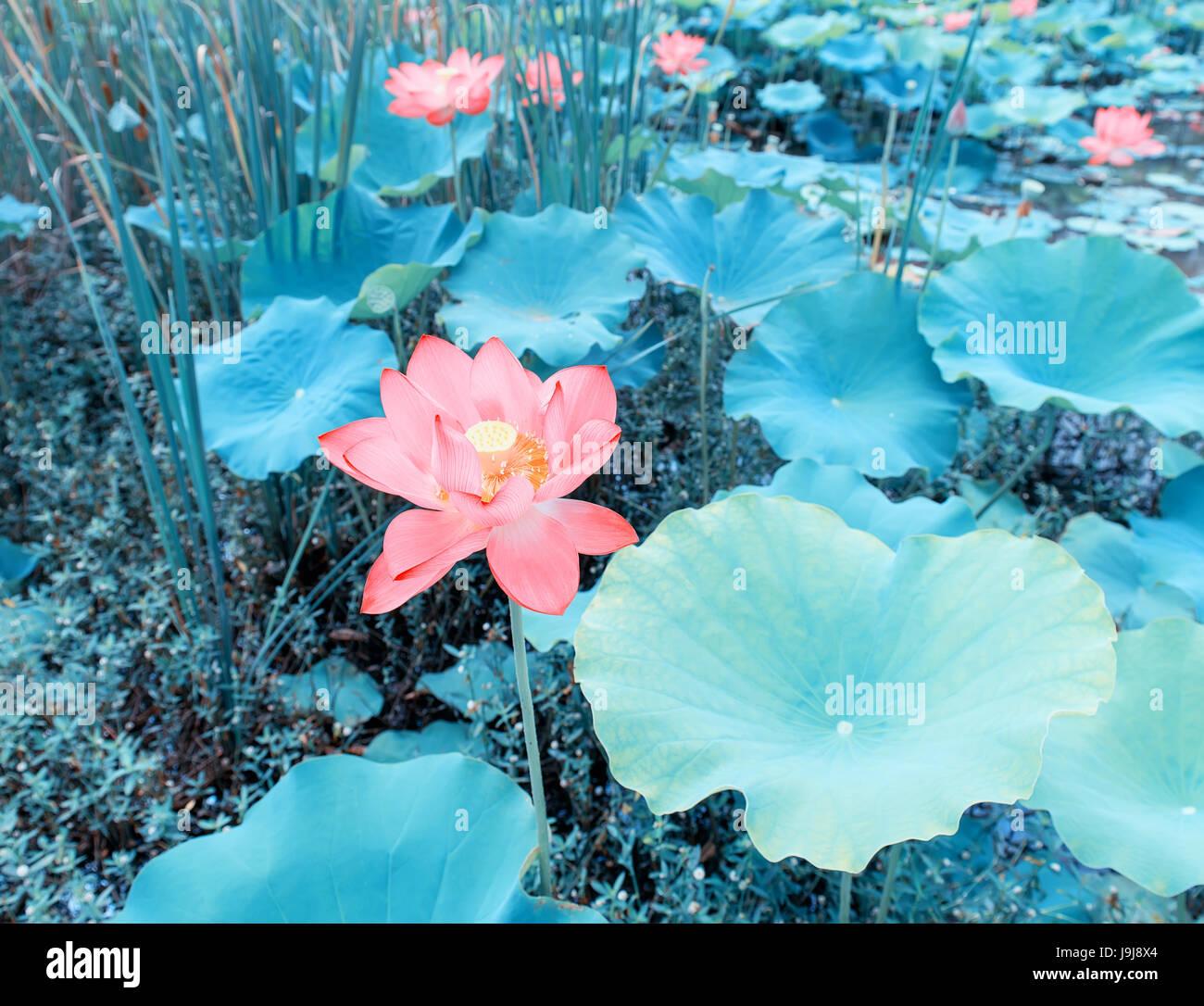 Waterlily or lotus flower in watersymbol of purity stock photo waterlily or lotus flower in watersymbol of purity mightylinksfo