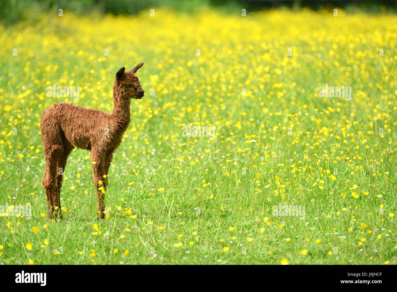Baby alpaca in a meadow of buttercups - Stock Image