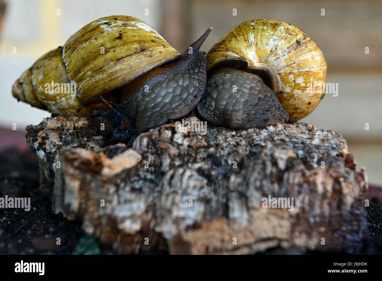 Giant African land snails - Stock Image