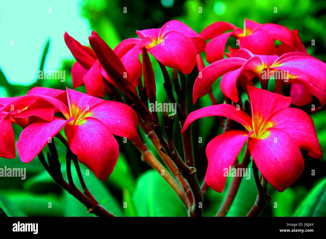 Velvet / red color Plumeria - Araliya flower Stock Photo: 143624402 ...