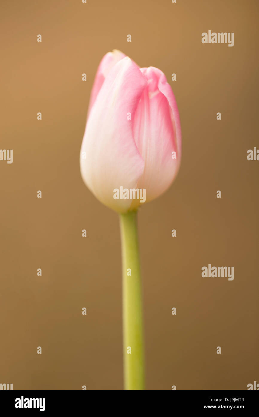 Beauty of spring, pink tulip - Stock Image