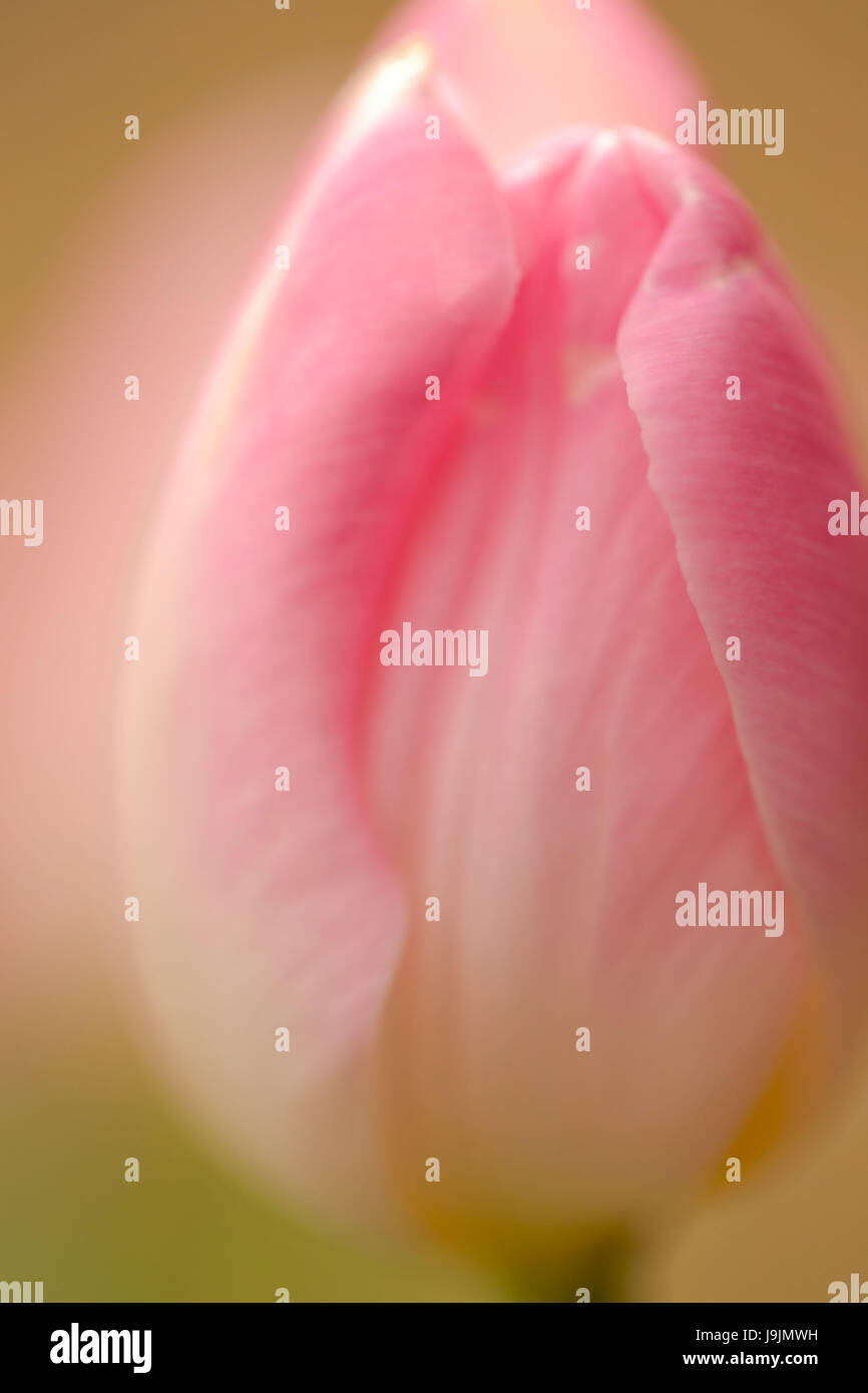 Close-up of pink tulip in softness capture - Stock Image