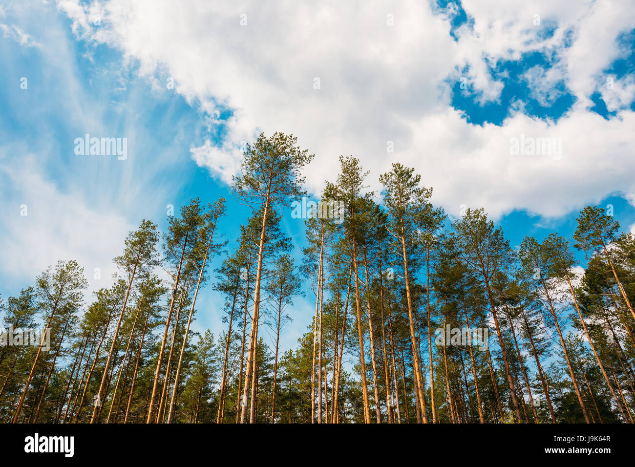 Crowns Treetops Of Tall Thin Slender Evergreen Pines Under Cloudy Spring Summer Blue Sky Welkin Background. - Stock Image