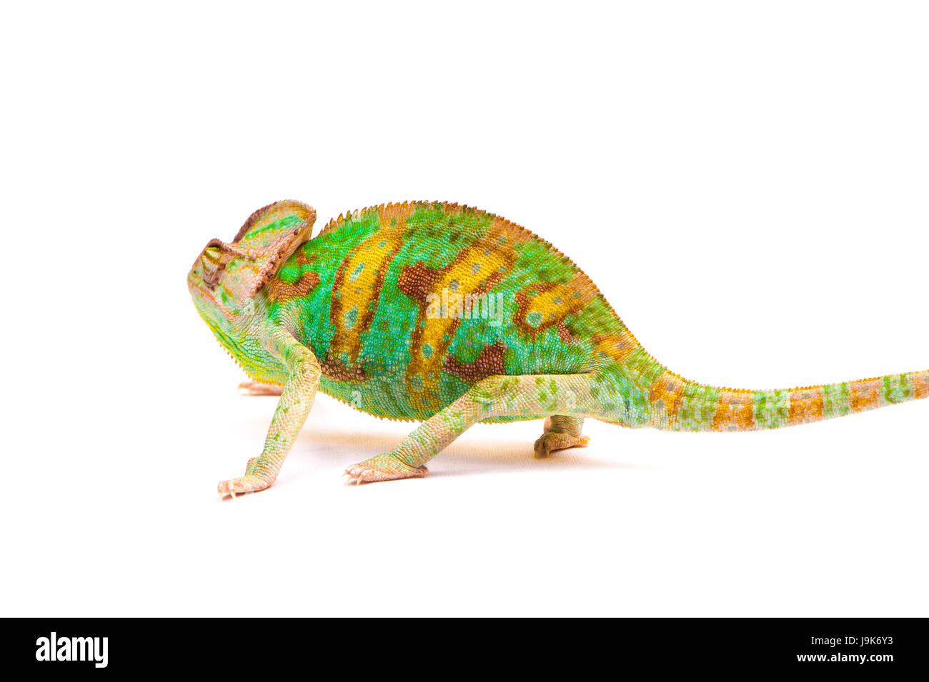 Yemen chameleon muzzle isolated on white background - Stock Image
