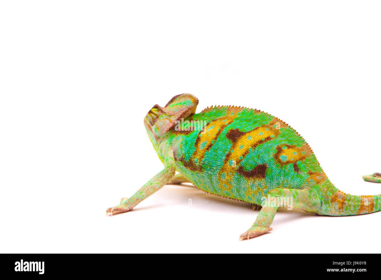 Yemen chameleon muzzle isolated on white background Stock Photo
