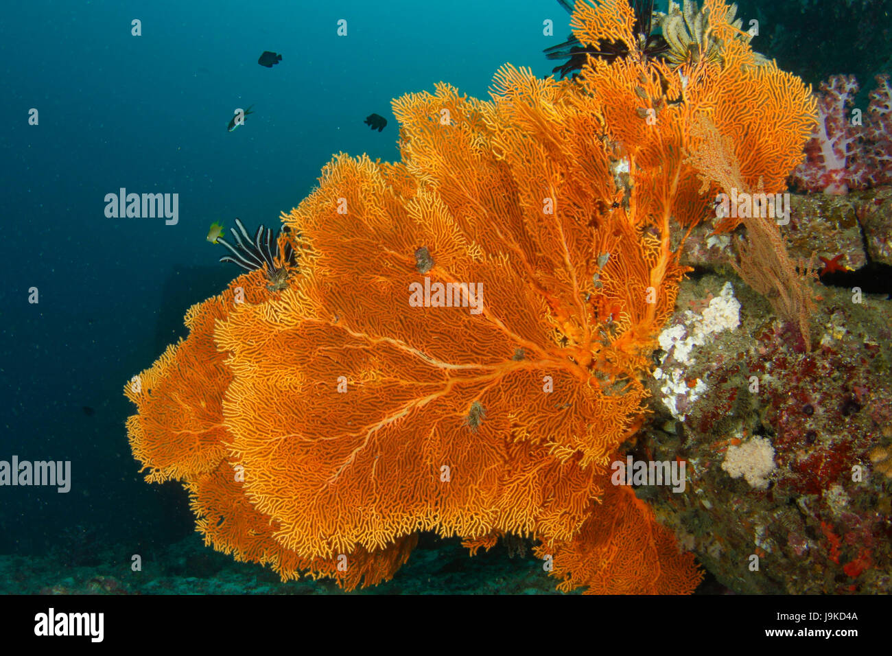 Giant orange gorgonian sea fans in full bloom hanging on a wall in the deep blue water in Similan, Thailand - Stock Image