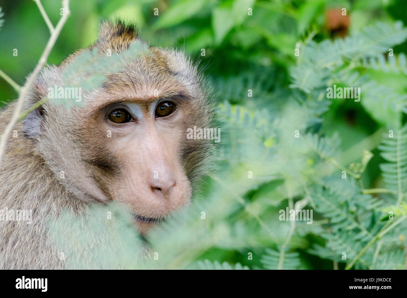 A lone adult crab-eating macaque (Macaca fascicularis) or long-tailed macaque hiding in tall bushes in Thailand - Stock Image