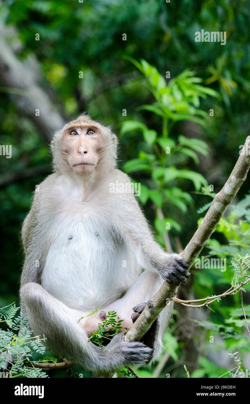 A lone adult crab-eating macaque (Macaca fascicularis) or long-tailed macaque contemplating on a tree branch in - Stock Image