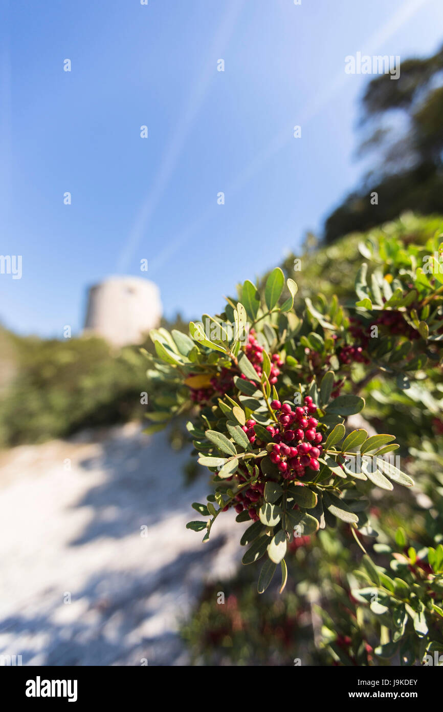 Red berries and plants of the inland frame the tower  Cala Pira Castiadas Cagliari Sardinia Italy Europe - Stock Image