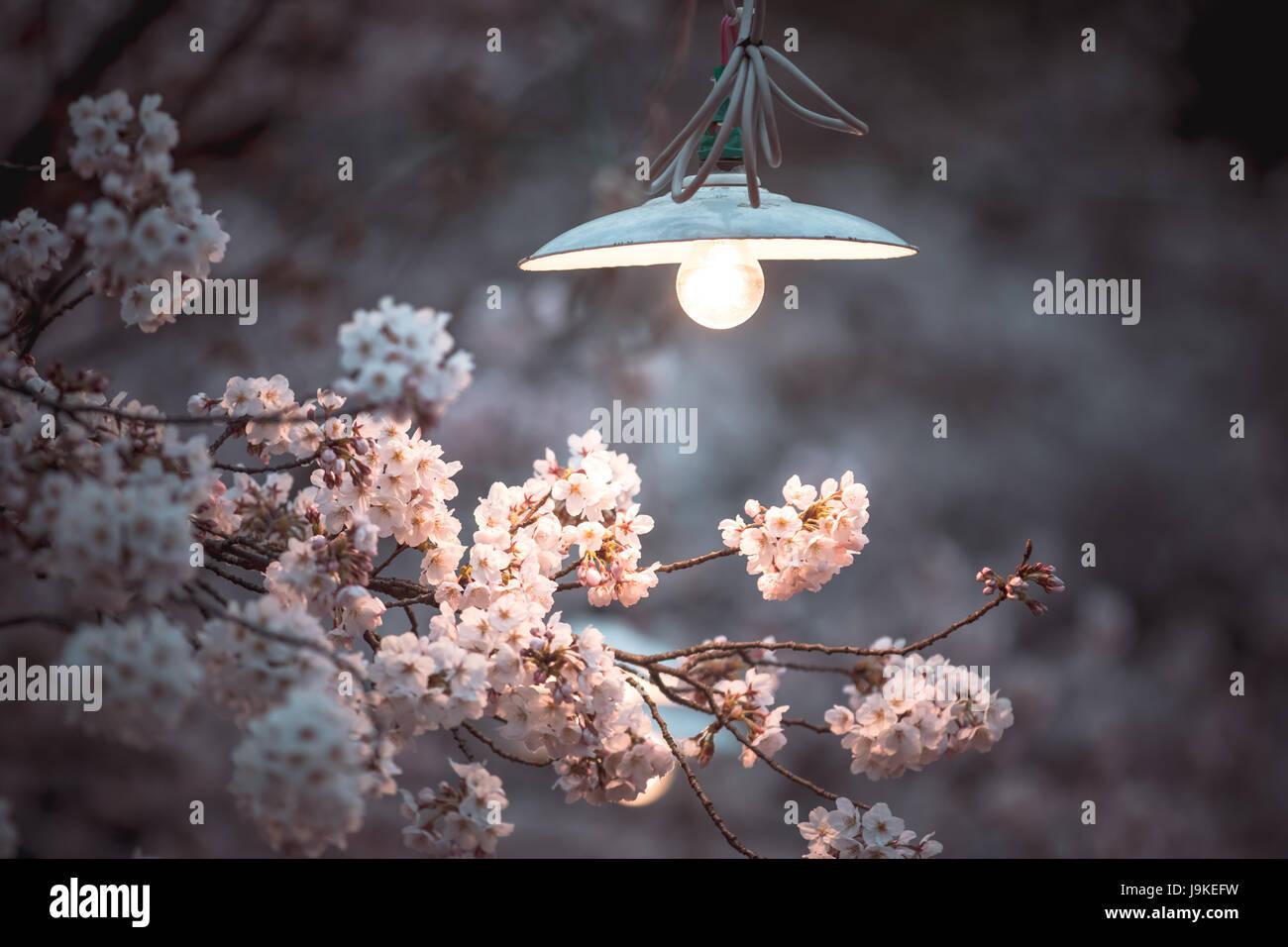 Pink sakura and light blub in the park the most beautiful flower in pink sakura and light blub in the park the most beautiful flower in japan cherry blossom izmirmasajfo Gallery