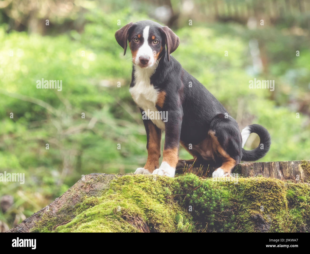 Appenzell puppy sitting and waiting - Stock Image