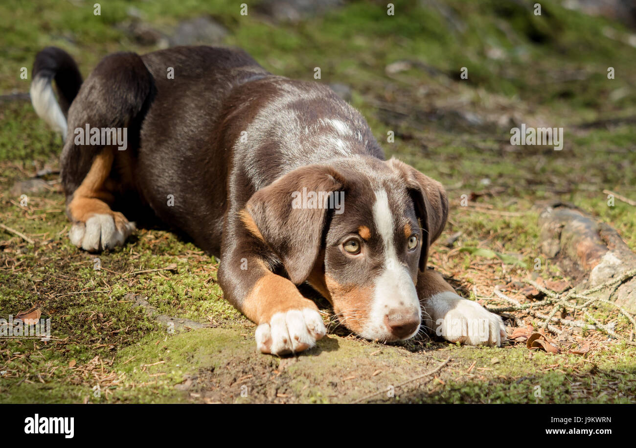 Appenzeller puppy is lying and waiting - Stock Image
