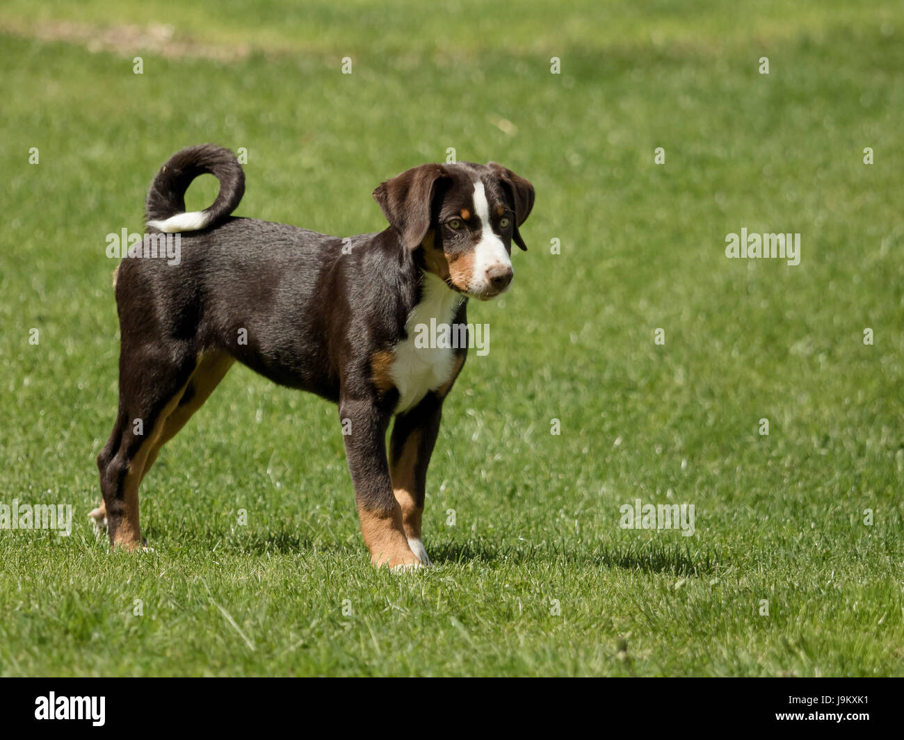Appenzeller puppy stands and waits - Stock Image