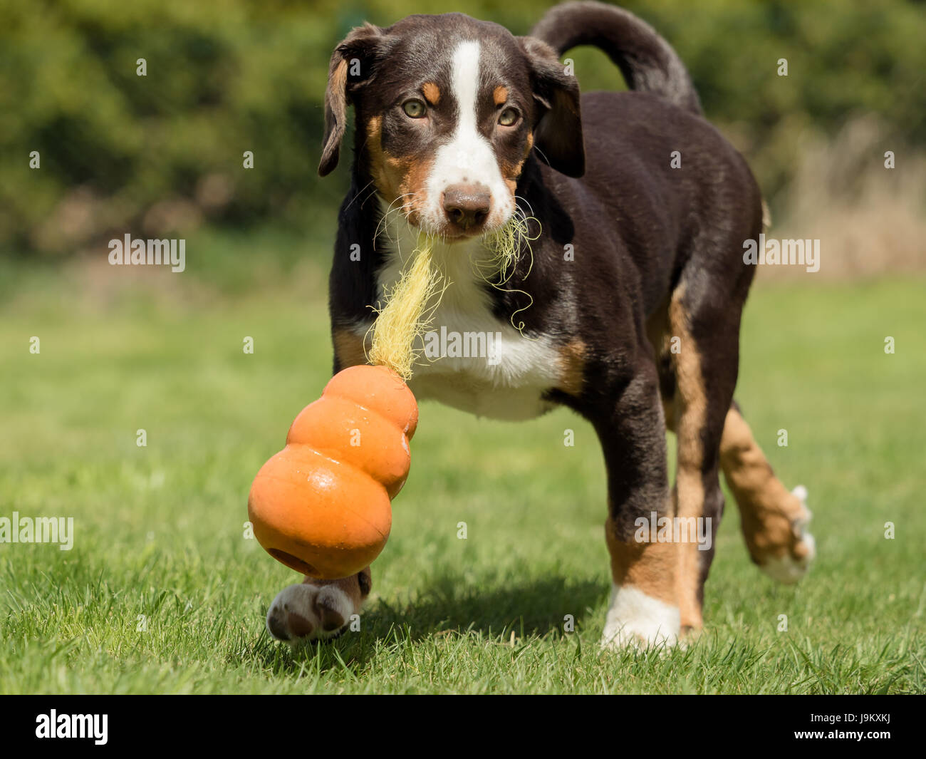 Appenzeller puppy playing - Stock Image