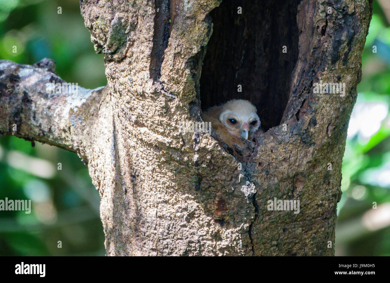 Bird spotted chick owl inside nest in tree hole Stock Photo