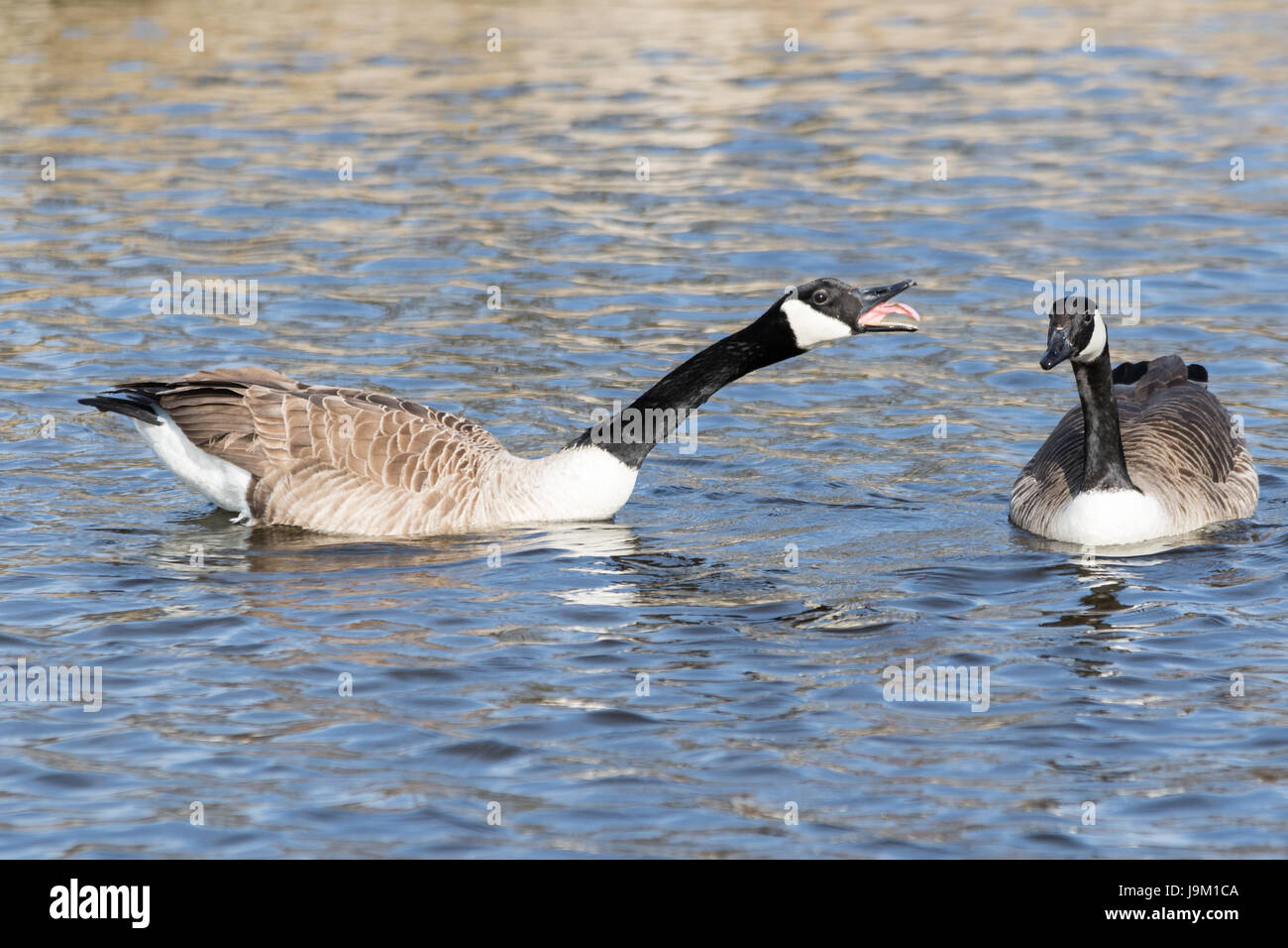 Two Canada geese and one is honking at the other - Stock Image