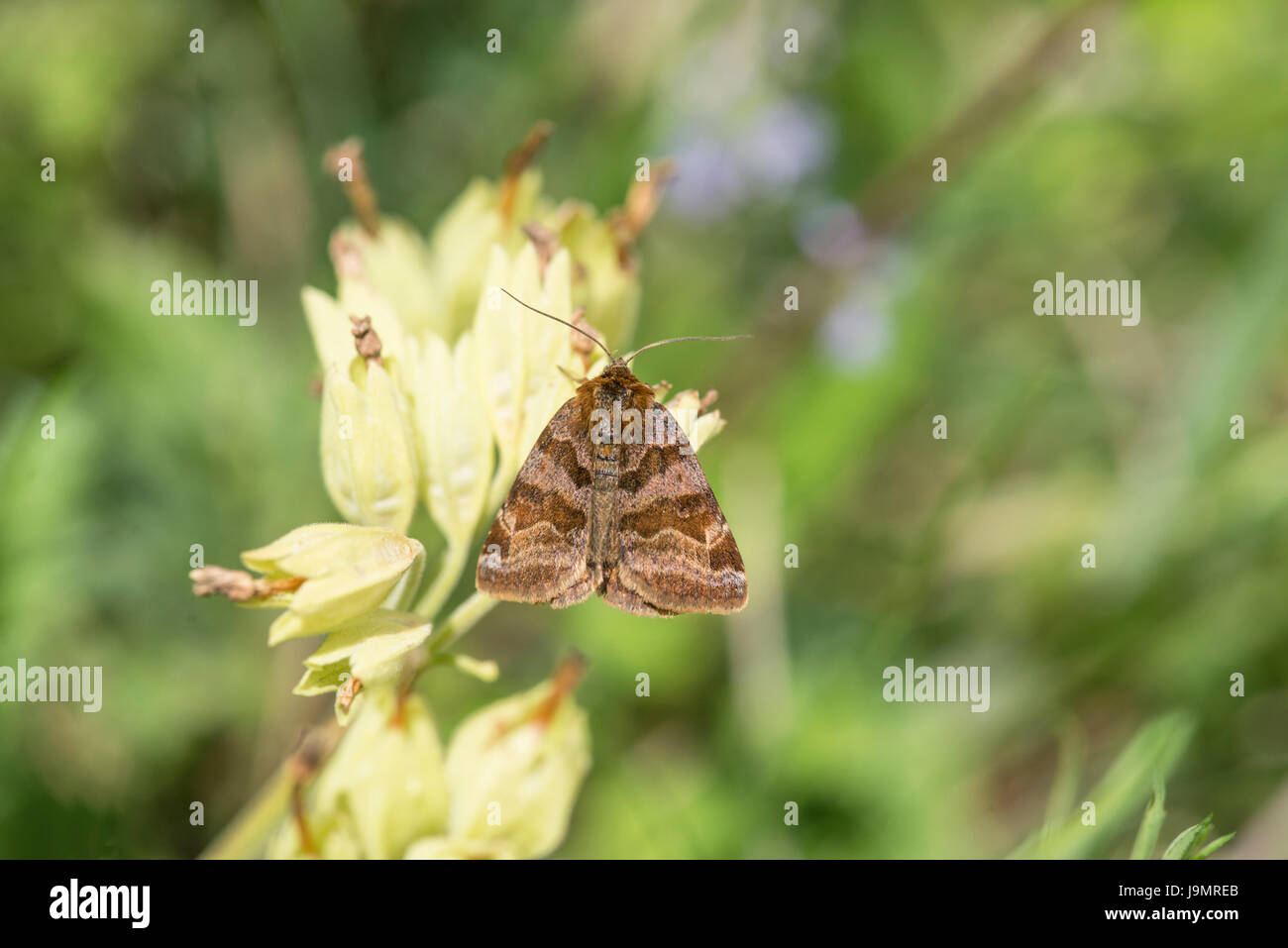 Burnet companion moth (Euclidia glyphica), a day-flying moth on the wing between May and July - Stock Image