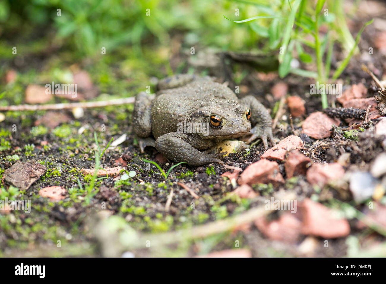 Common toad (Bufo bufo) - Stock Image
