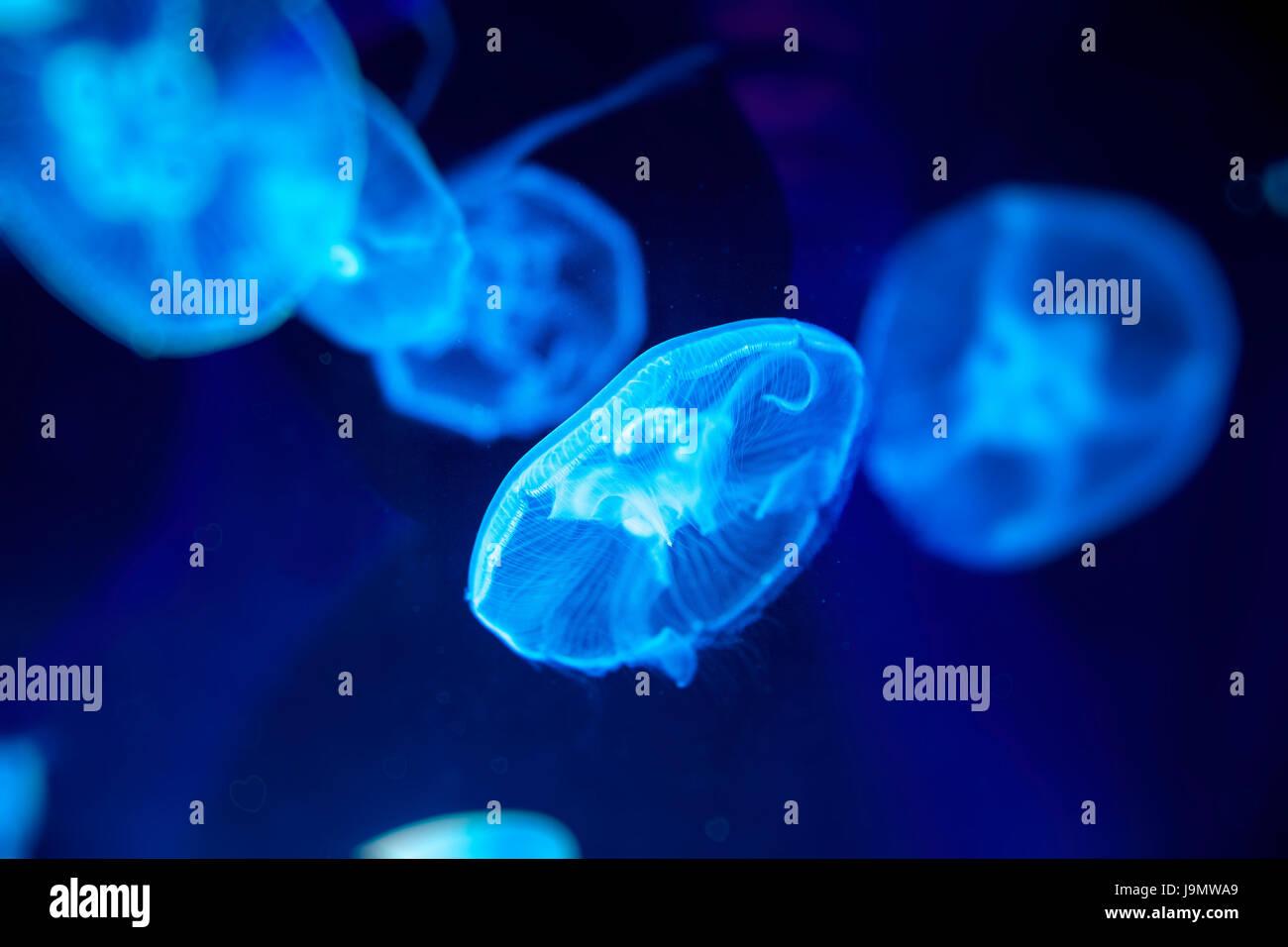 Moon jelly fish (Aurelia aurita) in London SEALIFE aquarium, UK. - Stock Image