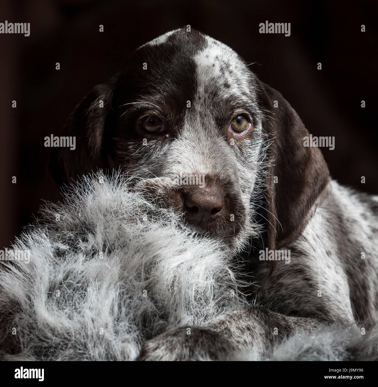 A playful German Wirehaired Pointer puppy Stock Photo: 143675314 - Alamy