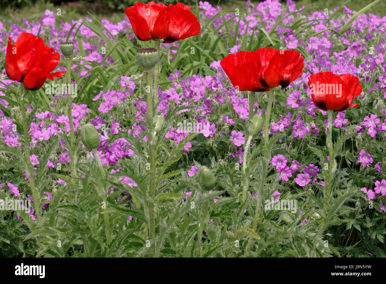 Red Poppies In Finely Purple Small Perennials Stock Photo