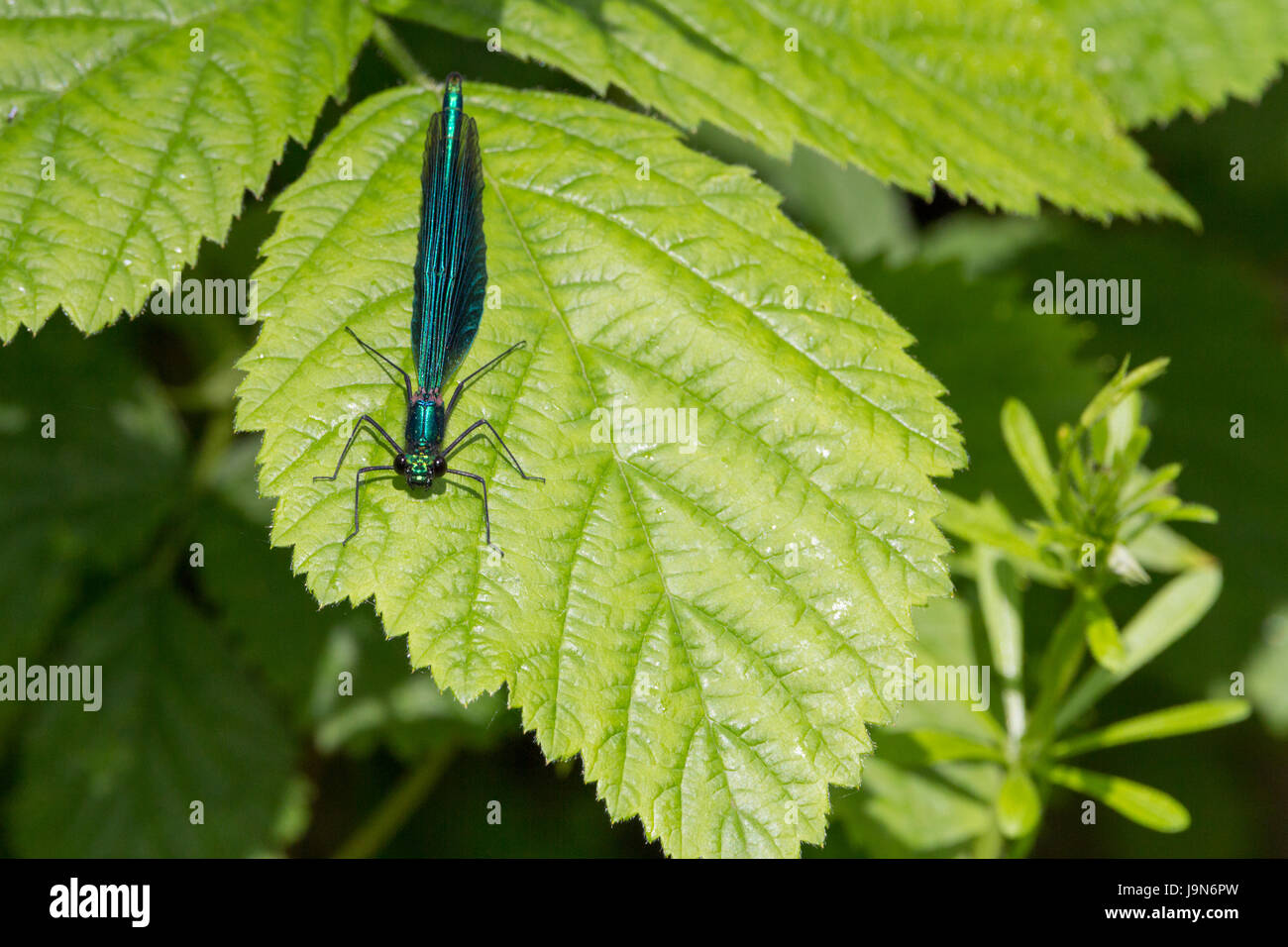 Beautiful Demoiselle Calopteryx Virgo alighted on foilage showing iridescent shiny colours and details. Compound - Stock Image