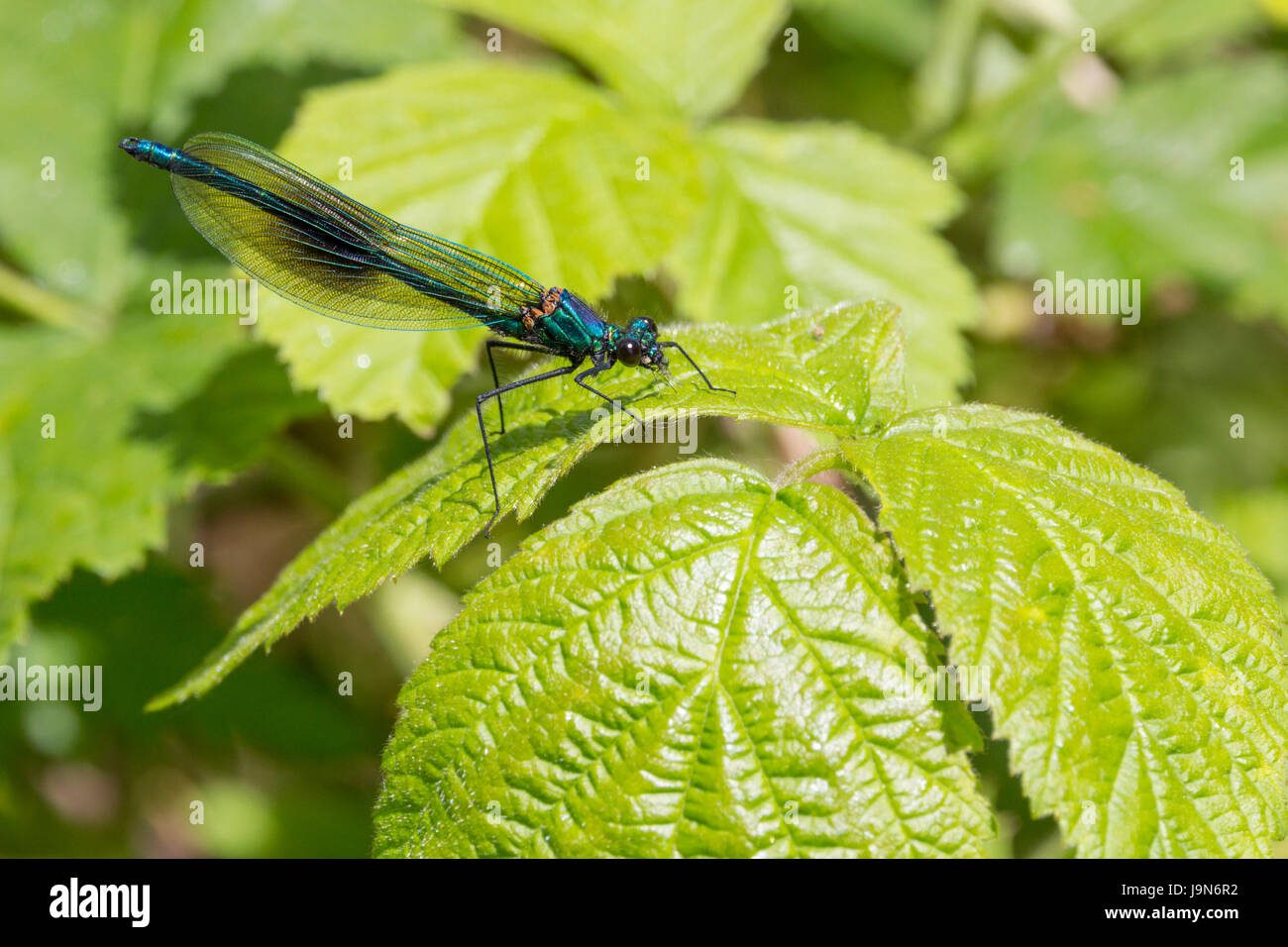 Banded Demoiselle Calopteryx Splendens alighted on foilage showing iridescent shiny colours and details. Compound - Stock Image