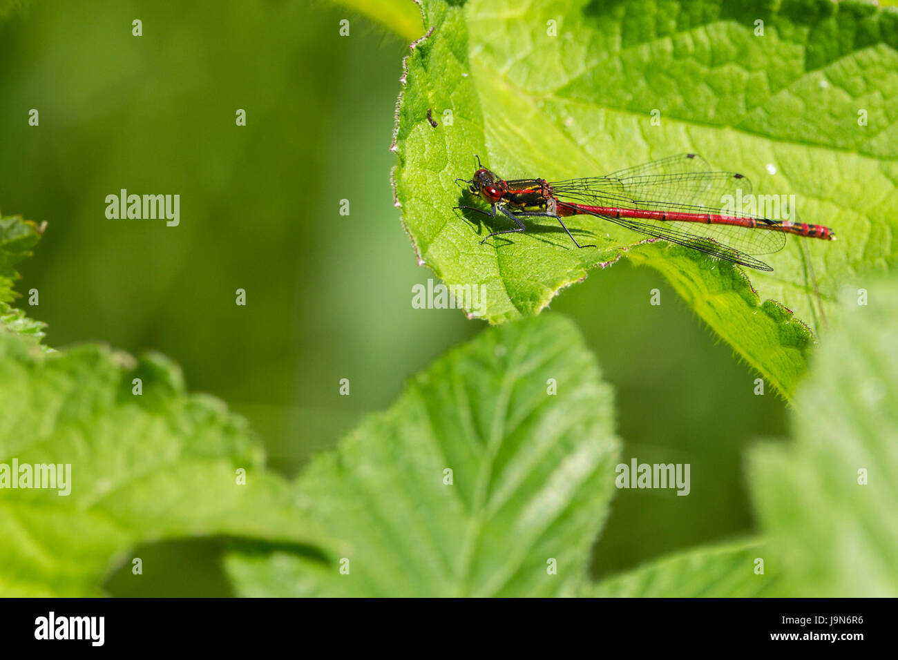 Damsel fly large red Pyrrhosoma Nymphula bright red with golden segments and black markings on abdomen resting on - Stock Image
