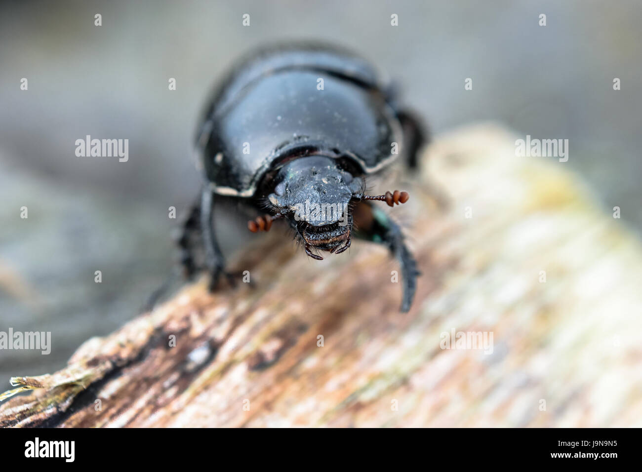 Close-up of the Dor Beetle / Dumbledore Dung Beetle - Stock Image