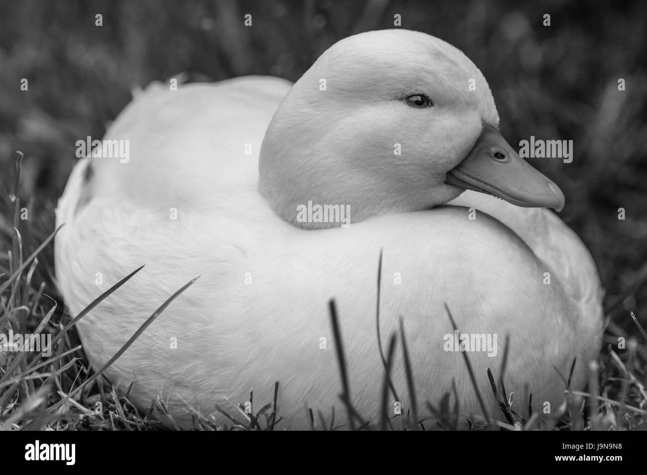 White Male Callduck / Call Duck on Grass - Stock Image