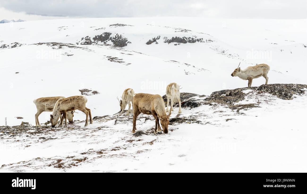 A group of reindeer in mountain area covered in snow. Kjølen, Kvaløya, Tromsø, Norway. - Stock Image