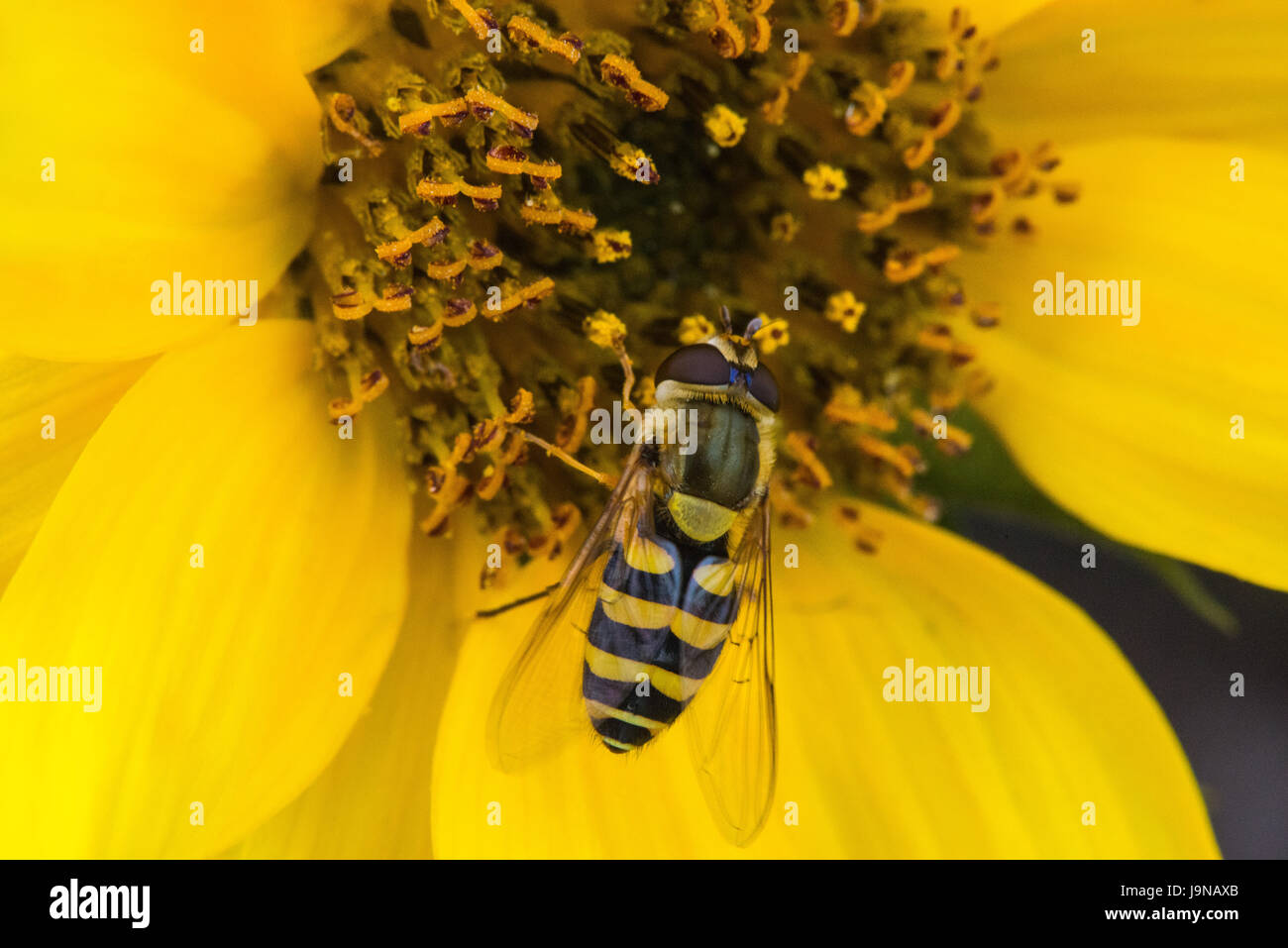 Black And Yellow Striped Hoverfly Stock Photos Black And Yellow