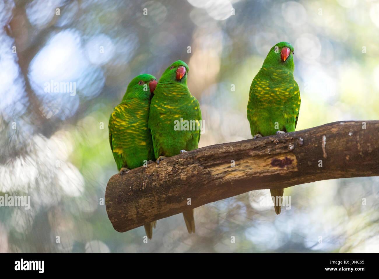 Parrots, Australia. - Stock Image
