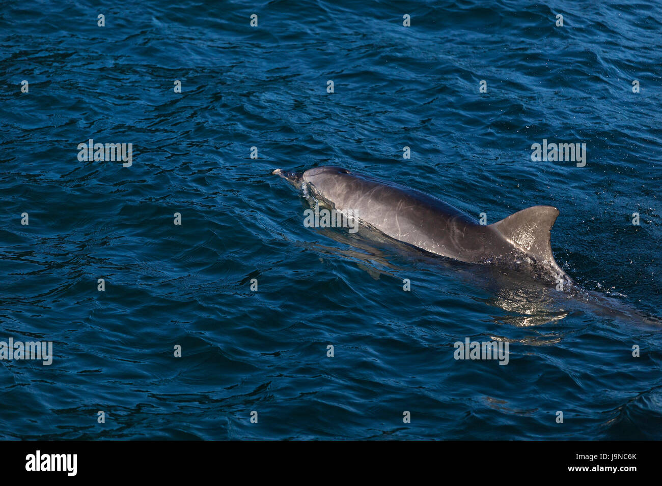 Dolphin in Nelson Bay, Australia. - Stock Image