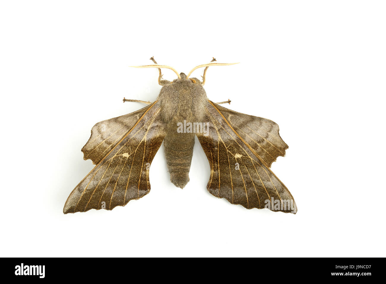Poplar Hawk-moth, Laothoe populi, on white background, Monmouthshire, May. Family Sphingidae. - Stock Image