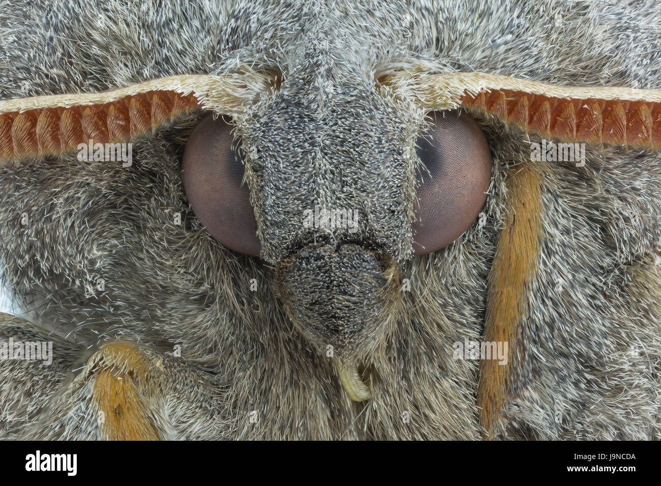 Close-up view of Poplar Hawk-moth, Laothoe populi, Monmouthshire, May. Family Sphingidae. - Stock Image