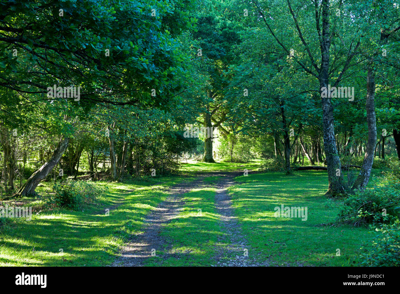 Hale Purlieu, woodland walk in the New Forest, Hampshire, England UK - Stock Image