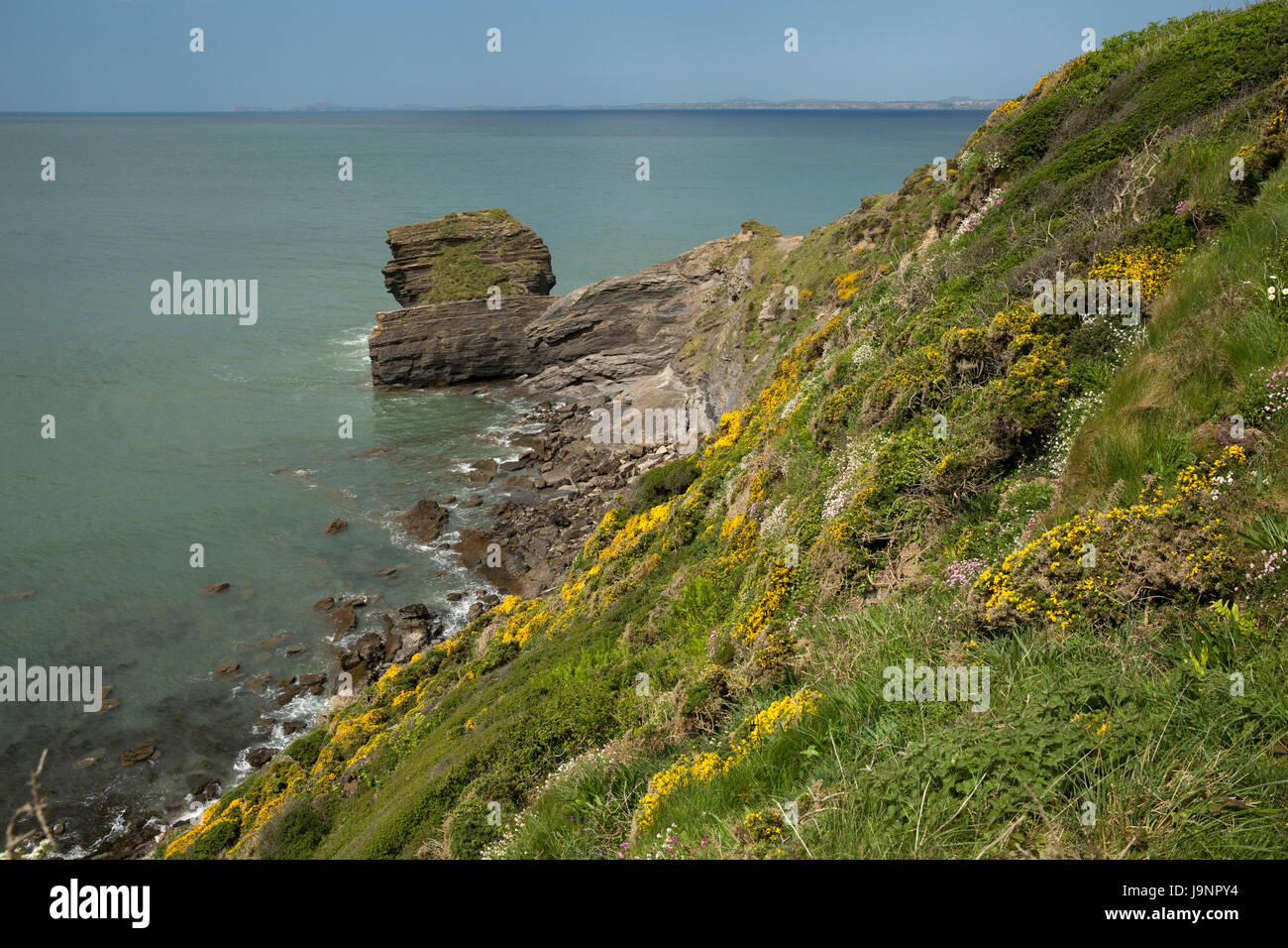 UK, Wales, Pembrokeshire, Broad Haven, wild flower studded cliff above St Bride's Bay - Stock Image