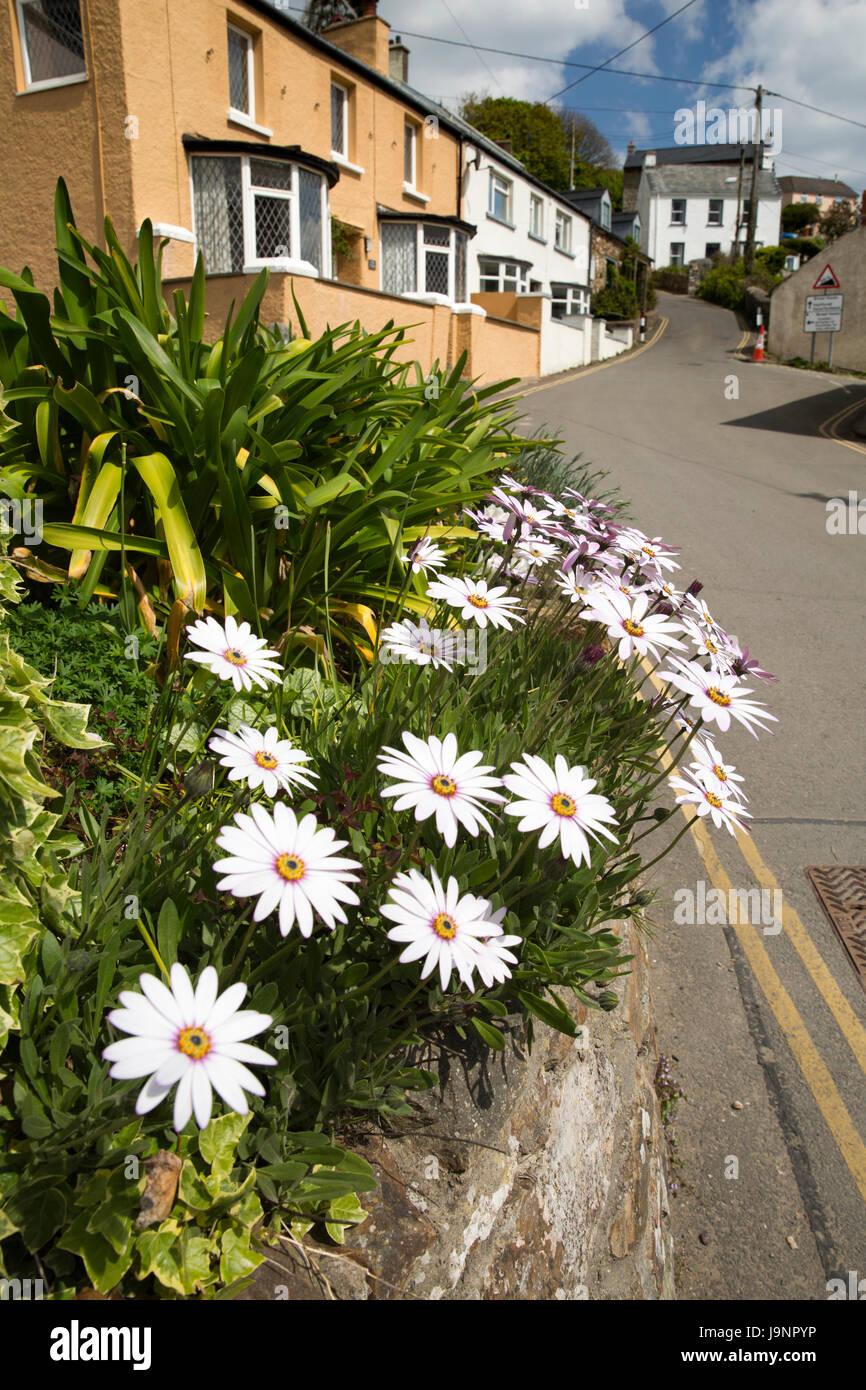 UK, Wales, Pembrokeshire, Little Haven, Walton Hill, Gerbera flowers in cottage front garden - Stock Image