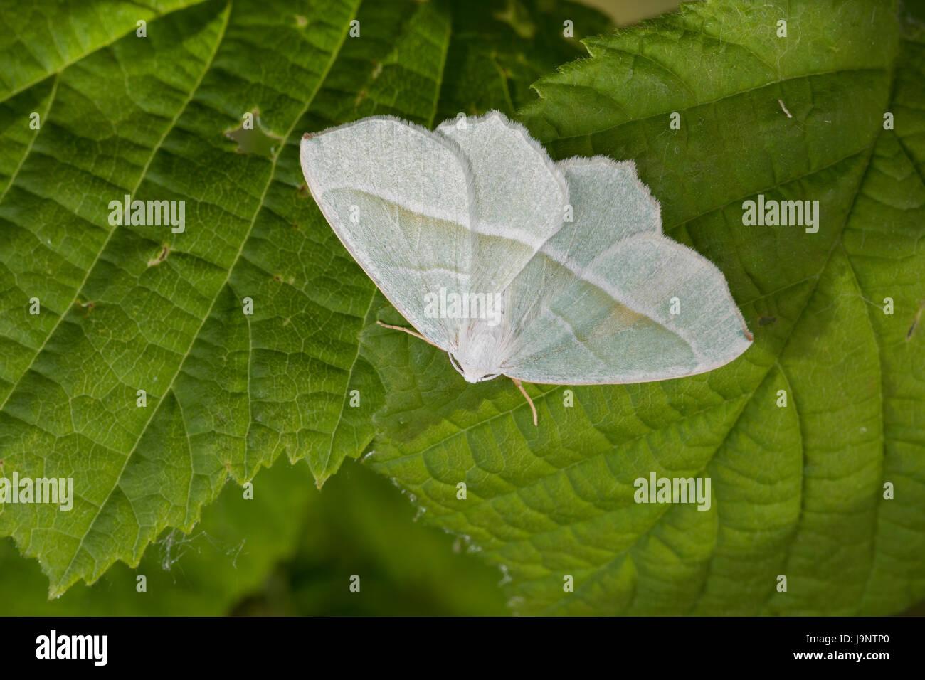 Silberblatt, Silberblattspanner, Silberblatt-Spanner, Perlglanzspanner, Perlglanz-Spanner, Campaea margaritata, - Stock Image