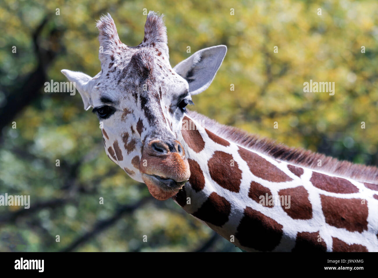 Giraffe and baby - Stock Image