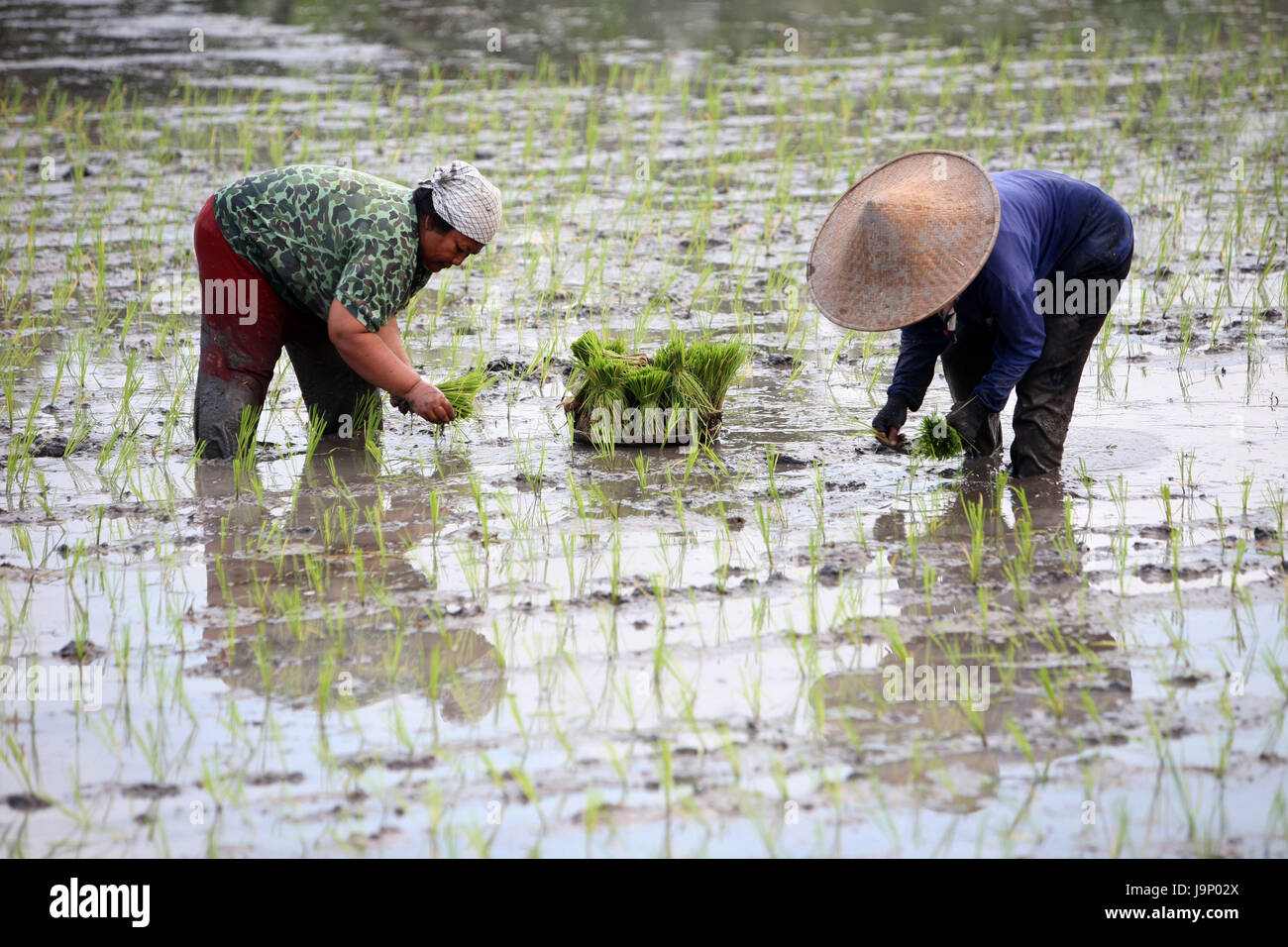 Indonesia,Bali,island,with Tegalalang,travel,field,agriculture,everyday life,economy,culture,women,Setzlinge,no - Stock Image