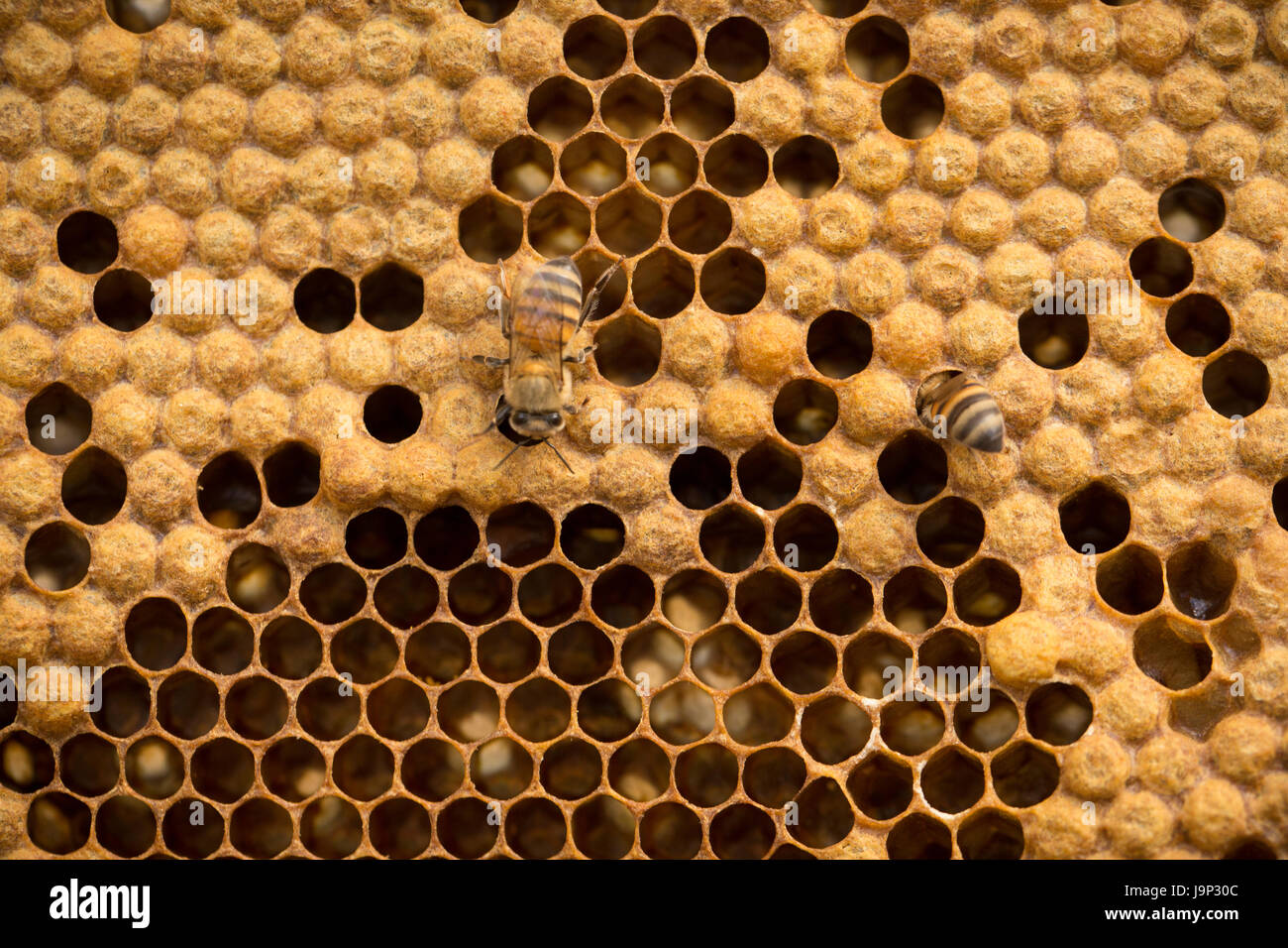 Honey is harvested from beehives and frames in Leon Department, Nicaragua. - Stock Image