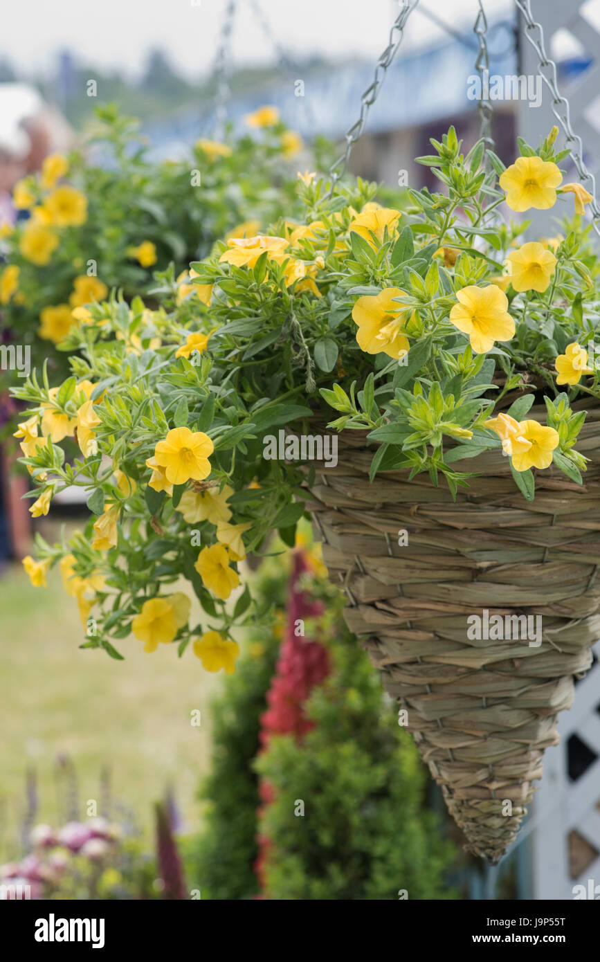 Calibrachoa. Petunia Million Bells flowers in a conical hanging basket at a flower show. UK - Stock Image