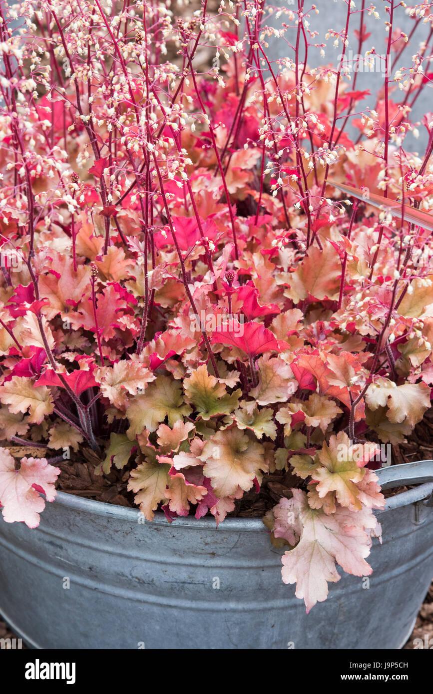 Heuchera 'Marmalade'. Coral bells. Alum root 'Marmalade' in a galvanized tin planter. UK - Stock Image