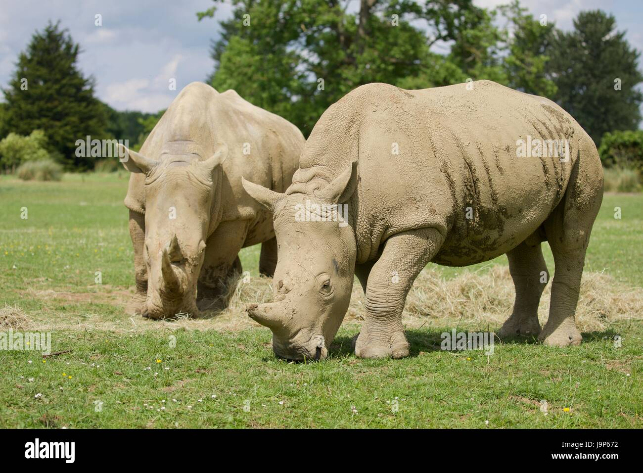 Southern White Rhinos at the Cotswold Wildlife Park - Stock Image