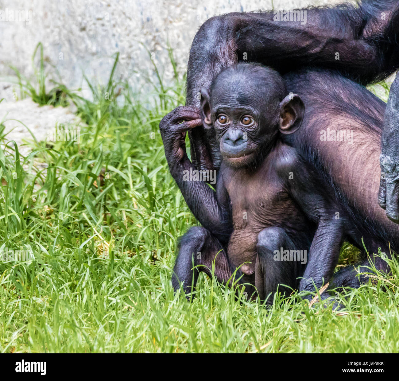 A curious baby Bonobo Ape observes his surroundings, mom close by - Stock Image