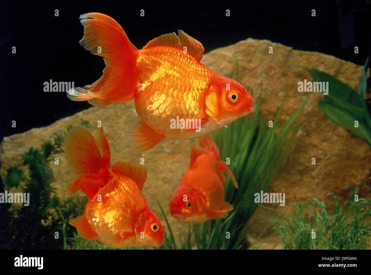 Goldfish,aquarium,Carassius auratus, Stock Photo