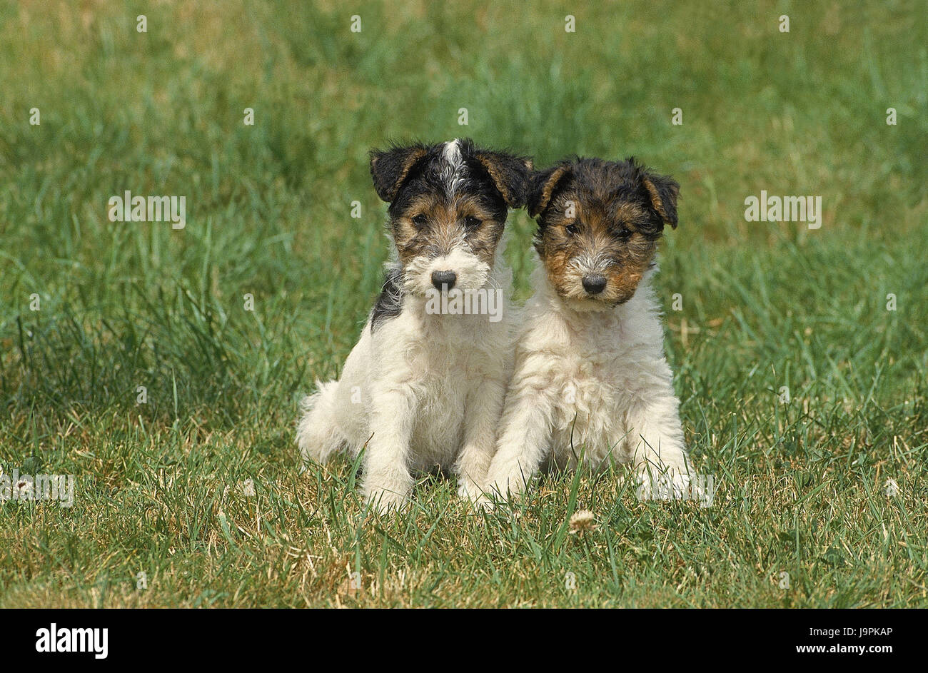 Dog puppies,wirehaired terriers,two,grass,sit, - Stock Image