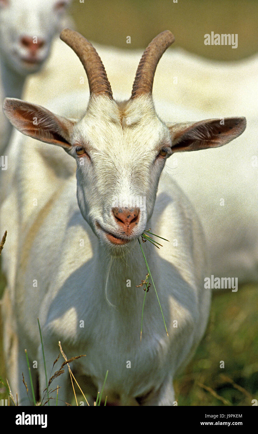 Saanen goat,grass eat, - Stock Image